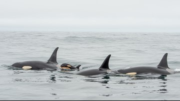 Orca calf spotted with pod off coast of Vancouver Island