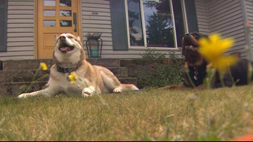 Family furious after dogs pepper-sprayed by Puget Sound contractor