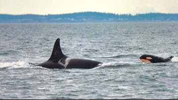 Saving the Orcas: Why Southern Resident killer whales struggle and how you can help