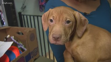 37 dogs rescued from suspected dogfighting ring are ready for adoption in Washington