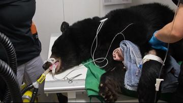 Surgeons save bear after car nearly killed her in Washington