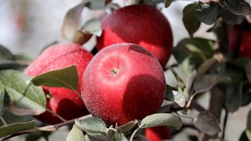Move over, Honeycrisp: New Washington apple to debut at grocery stores