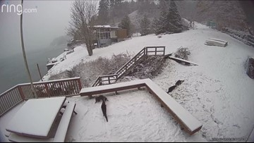 Watch wild otters playing in the snow on Vashon Island