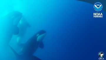 Mysterious new killer whale found off Chilean coast