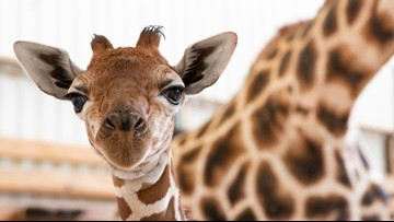 Baby giraffe gets a name and new shoes at Seattle's Woodland Park Zoo