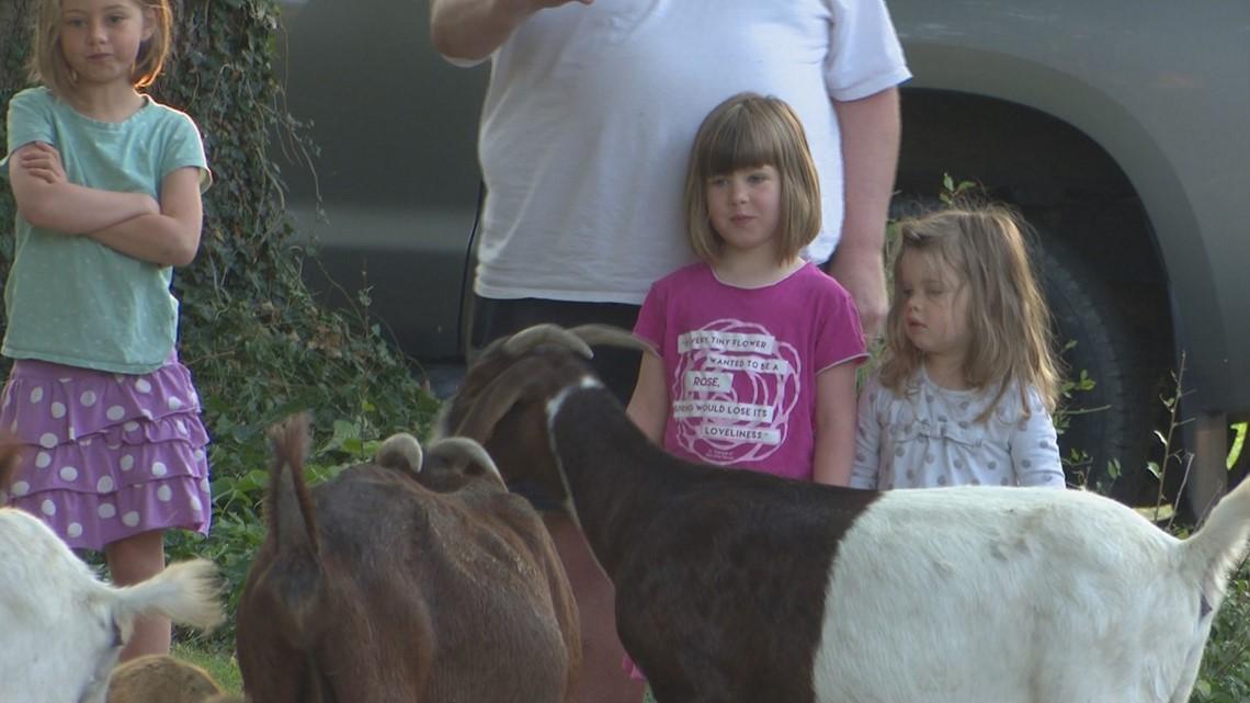 More Than 100 Escaped Goats Descend on Boise Neighborhood