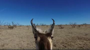 Fed-up antelope gets revenge on nosy drone
