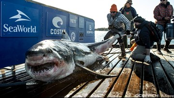 12-foot, almost 1,000-pound great white shark pinged off Florida coast
